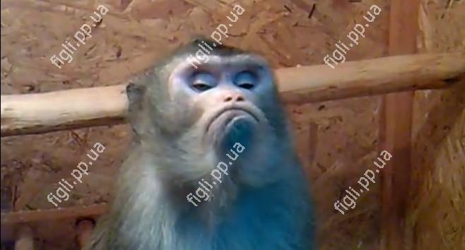 Мавпа вважає себе богом