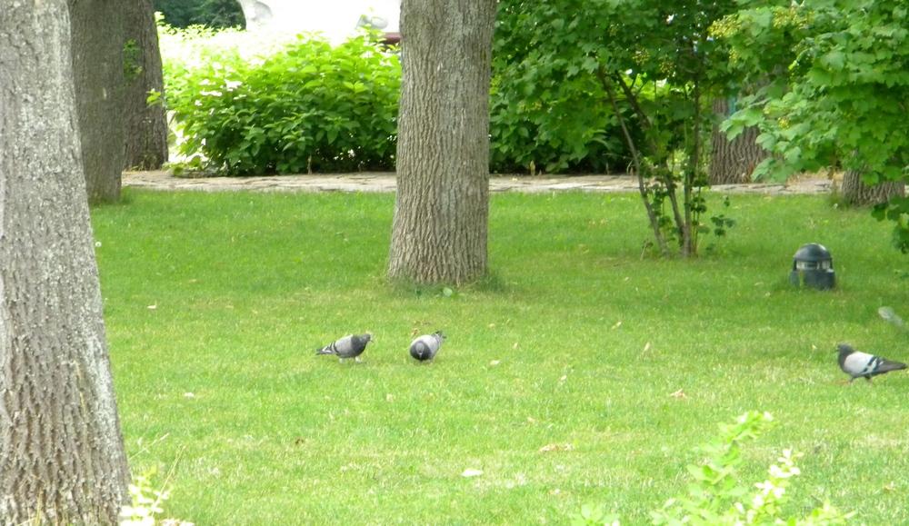 Київські голуби