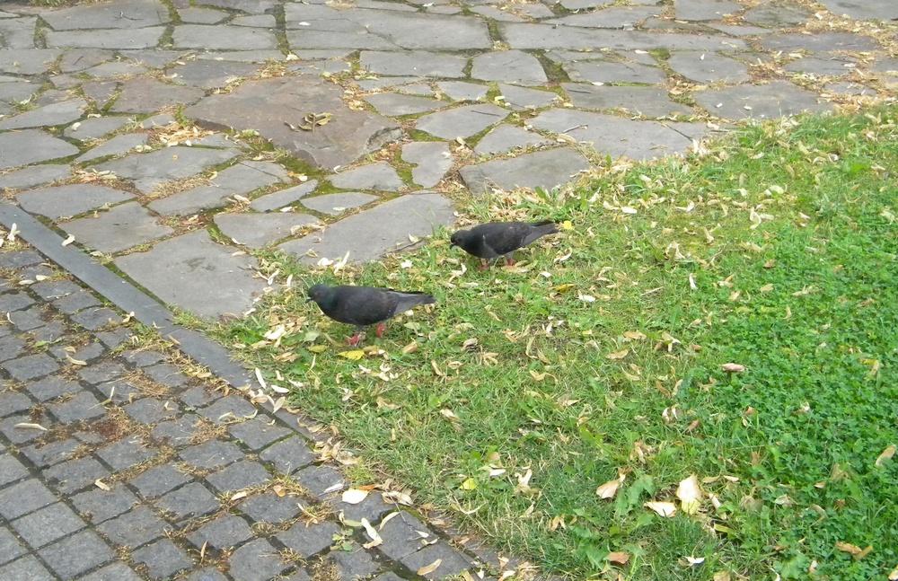 Чорні голуби